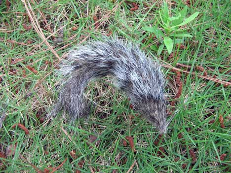 Squirrel_tail