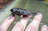 GA_cicada_03
