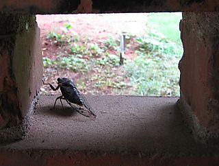 GA_cicada_09