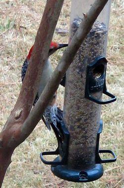 Red-Bellied_Woodpecker_03