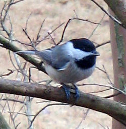 Carolina_Chickadee_01