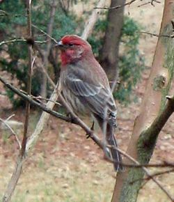 House_Finch_(red)_01