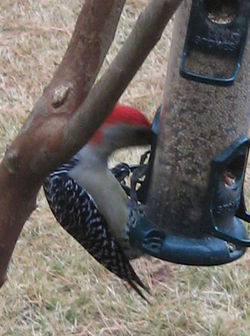 Red-Bellied_Woodpecker_02