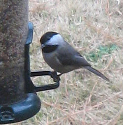 Carolina_Chickadee_02