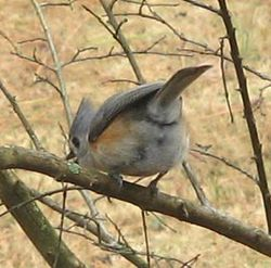 Tufted_Titmouse_02