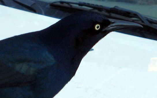 Boat-tailed_grackle_head