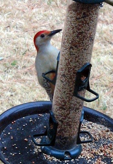 Red-Bellied_Woodpecker_05