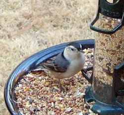 White-breasted_nuthatch_01