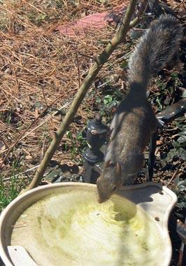 Squirrel_at_birdbath