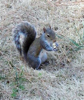 Squirrel_peanut