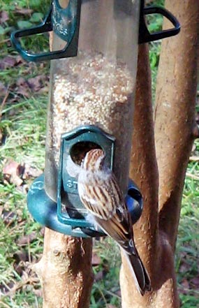 Sparrow_Nov_01