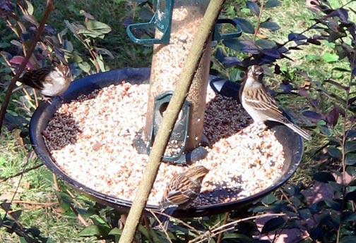 Sparrows_Nov_02