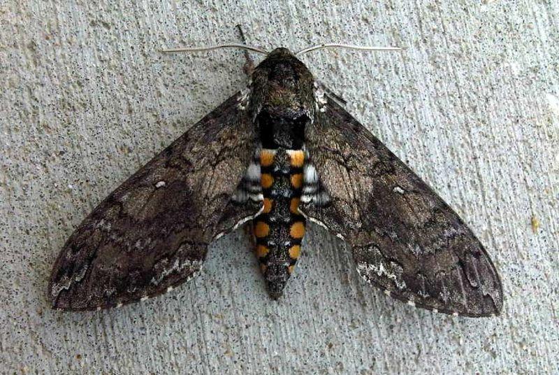 Big_moth_04