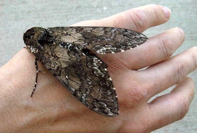 Big_moth_02