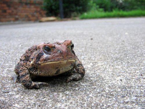 Tan_toad_04
