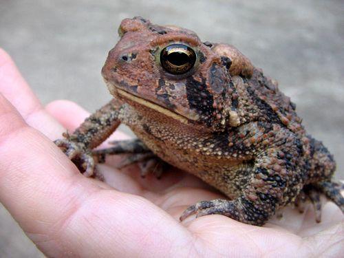Tan_toad_02