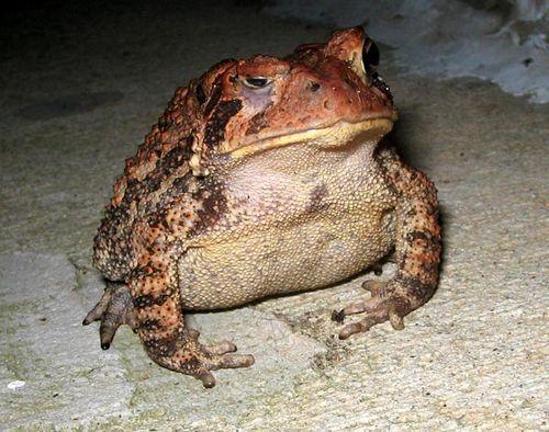 Ol_toad_01