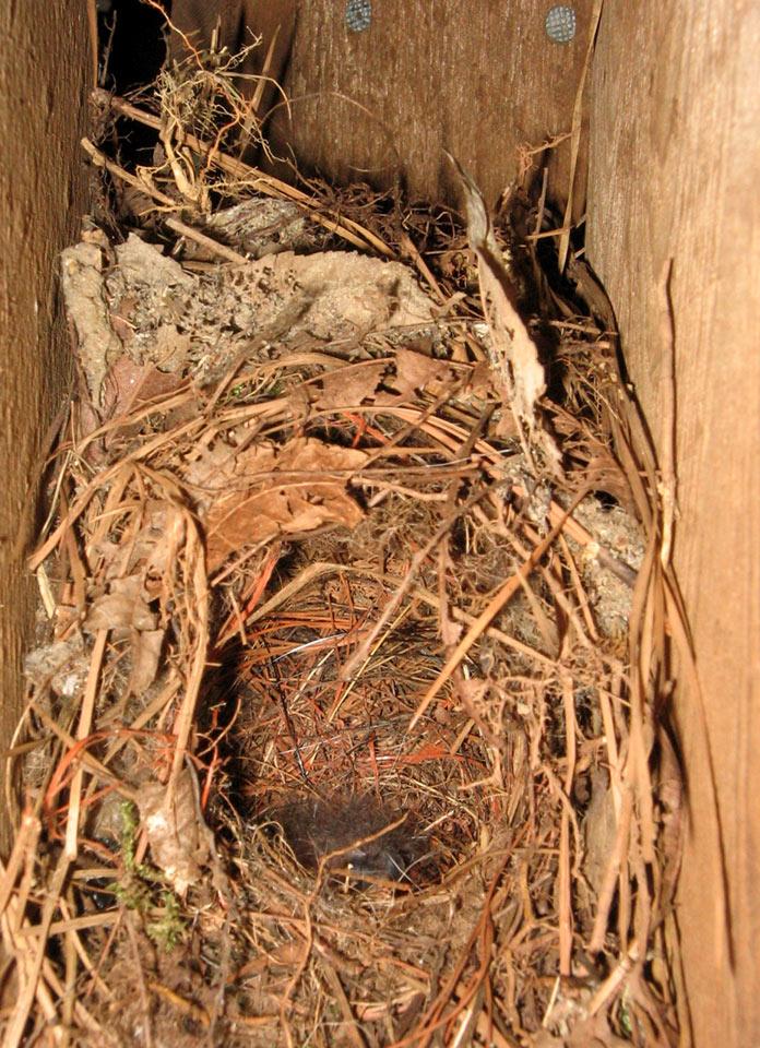 Wren_nest