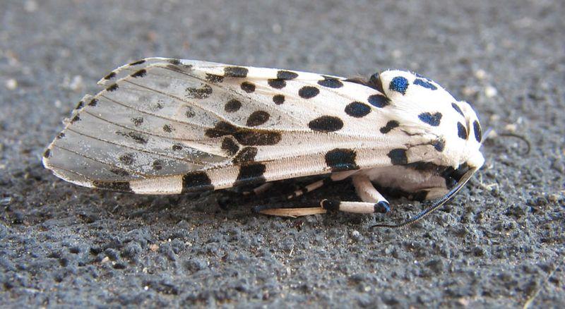 Leopard_moth_side_01
