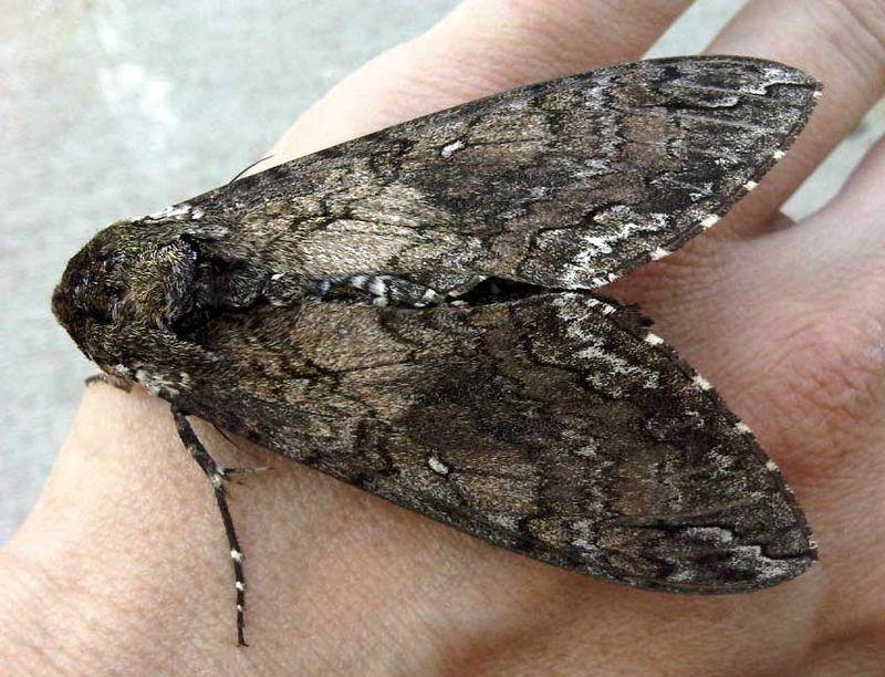 Big_moth_03