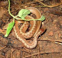 Sm_brown_snake_02