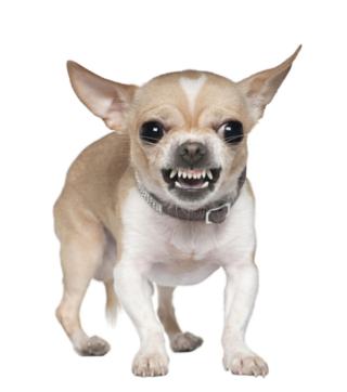 Angry-chihuahua