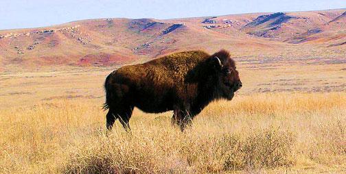 Majestic-buffalo-kansas-cheryl-poland