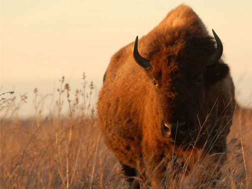 Majestic_buffalo