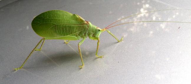 Leaf_bug_01