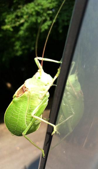Leaf_bug_06