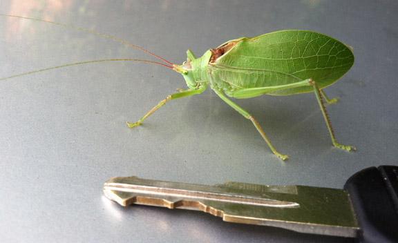 Leaf_bug_05