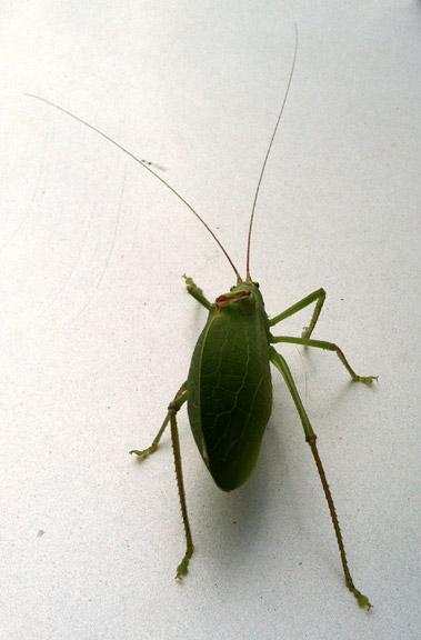 Leaf_bug_03