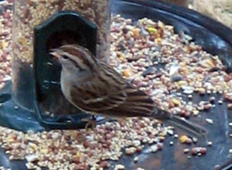 Clay-colored sparrow?
