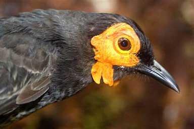 Honeyeater bird