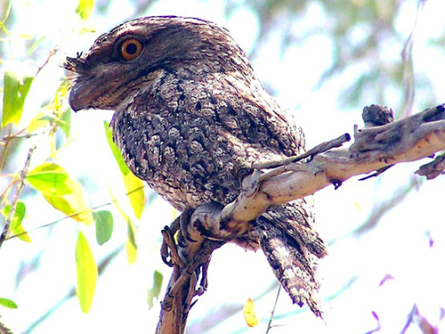 Tawnyfrogmouth: parent