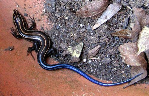 blue lizard in pot