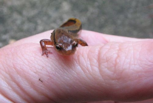 salamander stripes