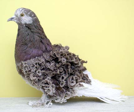 http://medullaoblongata.typepad.com/photos/pigeons_beautiful_pigeons/frillback_red_grizzle.jpg