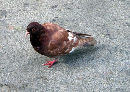 New York pigeon #1