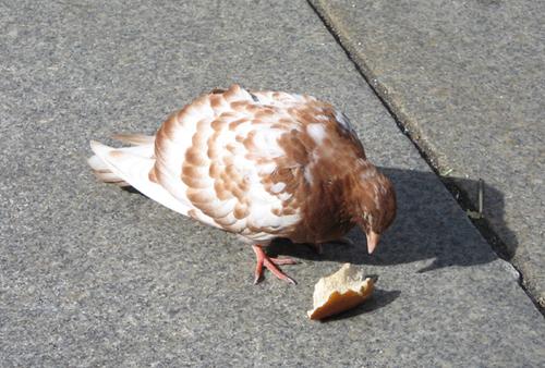 New York pigeon #2