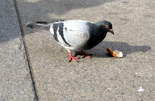 New York pigeon #4