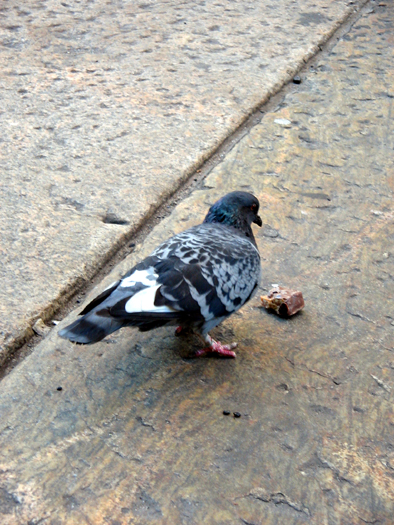 New York pigeon #8