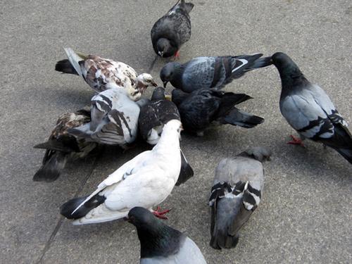 a preening of pigeons