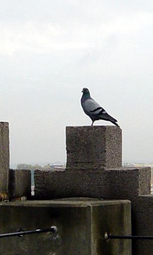 Pigeon #1