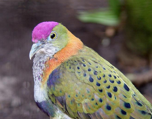 Superb fruitdove