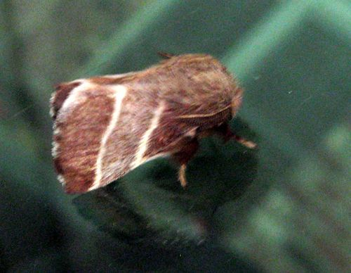 Brown_stripe_moth_02