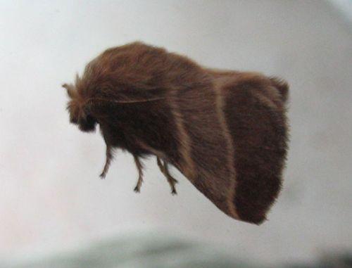 Brown_stripe_moth_03