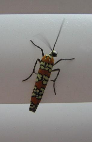 Deco bug ~ Ailanthus Webworm/Ermine Moth