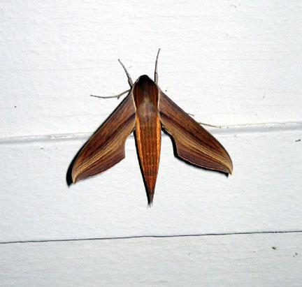 Moth ~ Tersa Sphinx moth